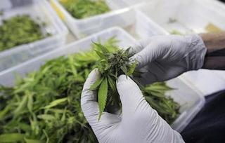 La cannabis? È anche un potente antinfiammatorio e non ha effetti collaterali