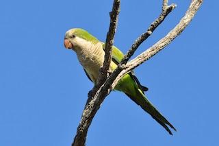 Puglia invasa dai pappagalli tropicali: colpa del cambiamento climatico