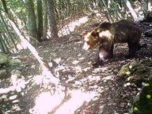 L'orso M49 in fuga si è liberato del radiocollare: ora tracciarlo è ancora più difficile