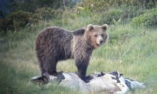 Trentino, l'orso M49 è stato catturato