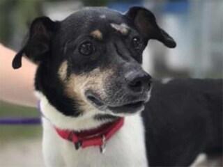 Zippy, il cagnolino morto da eroe: si è sacrificato per salvare i suoi padroni dalla casa in fiamme