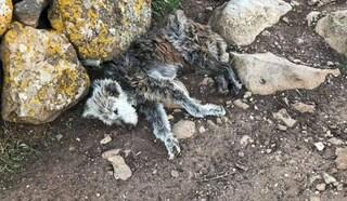 Animali legati e denutriti, smantellato canile lager in Sardegna: 4 cani ricoverati