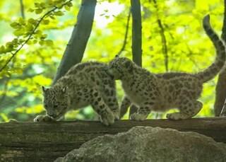 Novara, al Parco faunistico nati due cuccioli di leopardo delle nevi