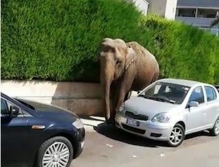 Brindisi, fuga dal circo: elefante sorpreso a passeggiare sul marciapiede tra le auto in sosta