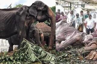 """Morta Tikiri, l'elefantessa costretta a sfilare alle parate: """"Libera dopo 70 anni da schiava"""""""