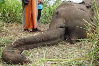 """Strage di elefanti in Sri Lanka, trovati morti vicino ai campi: forse avvelenati """"per vendetta"""""""