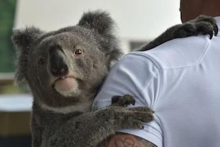 Strage di koala in Australia, fuoco distrugge riserva naturale e ne uccide centinaia