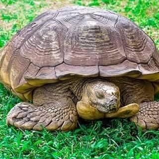 """È morta la tartaruga Alagba: considerata """"sacra"""" e con """"poteri curativi"""", aveva 344 anni"""