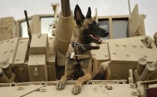 Abu Bakr al-Baghdadi scovato e inseguito dai cani soldato, si è fatto saltare ferendoli