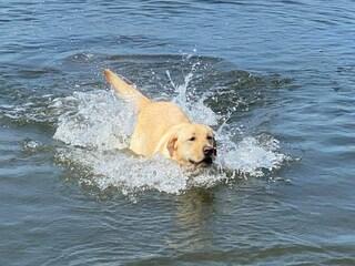 """Cane in difficoltà in mare, il labrador Marley si tuffa e lo salva: """"La padrona piangeva a riva"""""""