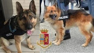 Lamezia Terme, cani poliziotto fanno arrestare una 33enne: incinta, spacciava in casa
