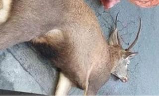 Cervo investito e ucciso in pieno centro di Chiavari, carne donata alla mensa dei poveri