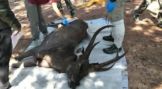 Thailandia, cervo morto nel parco nazionale con 7 chili di plastica nello stomaco