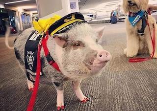 LiLou, la maialina assunta in aeroporto a San Francisco per placare l'ansia dei passeggeri