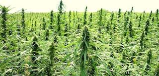 La cannabis light sarà legale: approvato l'emendamento alla legge di bilancio