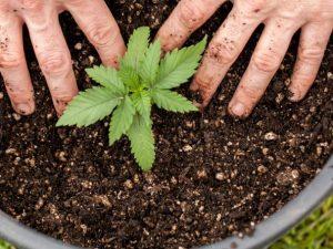 Da oggi si può coltivare liberamente la cannabis? Purtroppo non è così