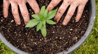 Cannabis light, alla Camera spunta un emendamento al Milleproroghe per liberalizzarla