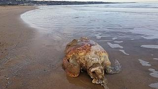 Vasto, tartaruga marina morta: la bocca e lo stomaco erano pieni di plastica