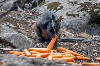 Australia, carote e patate lanciate dall'alto per salvare i canguri dalla fame