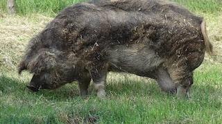 Orrore in Polonia, contadino divorato vivo dai suoi maiali: aveva appena avuto un infarto