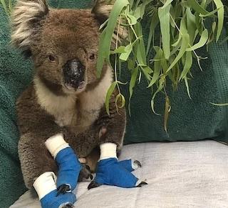 Addio a Billy, è morto il koala salvato dagli incendi in Australia con le zampe ustionate