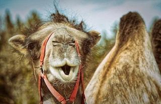 """Roghi in Australia, cecchini professionisti abbatteranno 10mila cammelli: """"Bevono troppa acqua"""""""