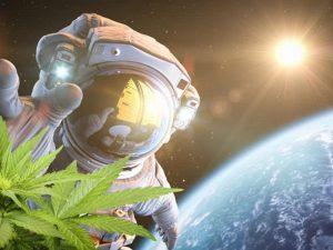 La canapa sarà lanciata nello spazio per studiarla in assenza di gravità