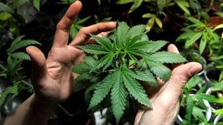 Cannabis, via libera al testo base: ok alla mini coltivazione a casa, aumentano pene per spaccio