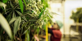 Legalizzare la cannabis significa creare milioni di posti di lavoro