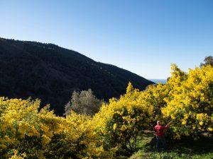 Mimose fiorite in Liguria