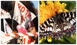Riuscirà la rara farfalla Zerynthia a bloccare la Tav Torino - Lione?