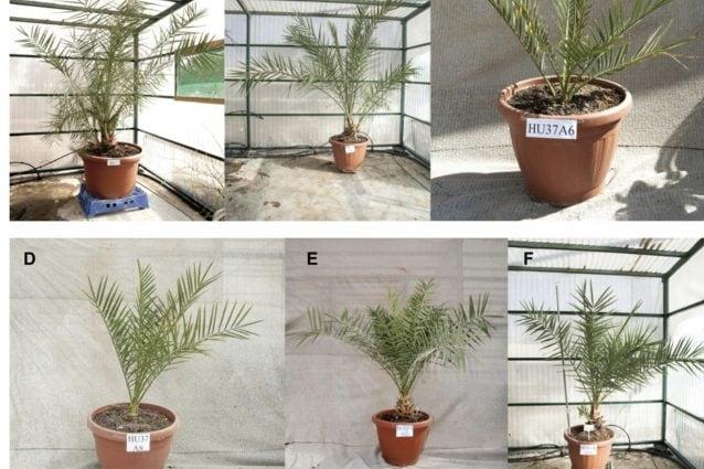 La pianta di palma di Masada, ritrovata dopo 3000 anni, è la prova che l'impossibile non esiste