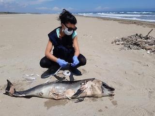 Ravenna, nella stessa giornata trovati morti in spiaggia due cuccioli di delfino