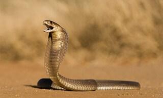 Uccide la moglie facendola mordere da un cobra: ci aveva provato anche con una vipera