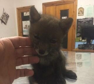 Brindisi, cucciolo di volpe si smarrisce in paese, salvato dai vigili urbani