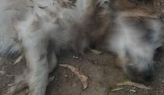Viene morso dal cagnolino: lo uccide a coltellate e poi lo brucia. Arrestato