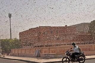 India, decine di milioni di locuste in città: si rischia una carestia
