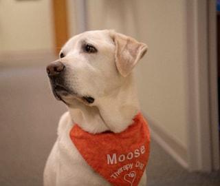 Moose, il cane laureato: Virginia Tech celebra uno dei suoi labrador da terapia
