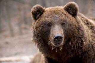 Sparare all'orso è sbagliato e crudele: il bosco è suo, non nostro