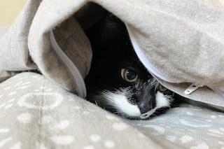 Arezzo, gatto morde la padrona e muore: aveva raro virus, Ministero avvia indagini