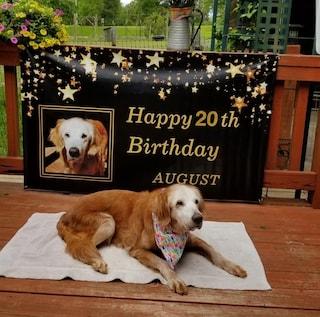 Il cane Augie compie 20 anni: è il Golden Retriever più vecchio della storia