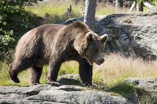 Firmata l'ordinanza per uccidere l'orso che ha ferito padre e figlio in Trentino