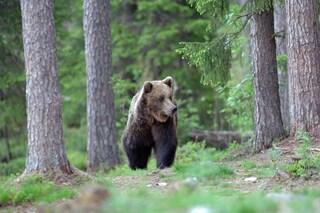 Il Trentino vuole abbattere l'orso che ha ferito padre e figlio: è polemica