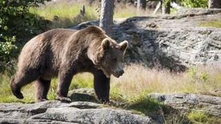 L'orso M49 castrato, imbottito di tranquillanti e rinchiuso. Animalisti protestano