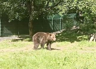 Dalle gabbie ai prati del Parco nazionale, l'Italia la nuova casa dei tre orsi salvati dal circo