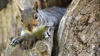 USA, uno scoiattolo è stato trovato positivo alla peste bubbonica