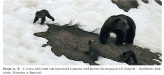 Ha un nome l'orsa che ha attaccato padre e figlio: JJ4, 14 anni, la seconda più anziana del Trentino