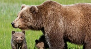 Trentino, sospesa l'ordinanza per cattura e uccisione dell'orsa che ha attaccato padre e figlio