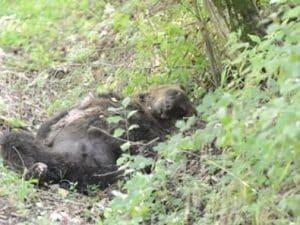 Orso ucciso mentre cercava cibo: uomo condannato a risarcire Parco nazionale e associazioni