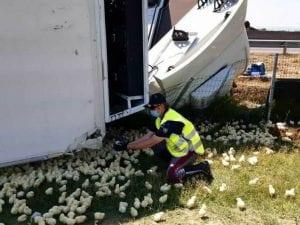 Incidente sulla A14, camion si ribalta: 60mila pulcini fuggono in autostrada, è caos